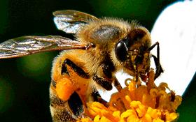 polenin faydaları nelerdir